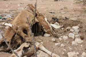 There have been many livestock deaths across Wajir. Animal carcasses are seen around Kulaley village (photo on flickr by Oxfam East Africa) Takaful Insurance